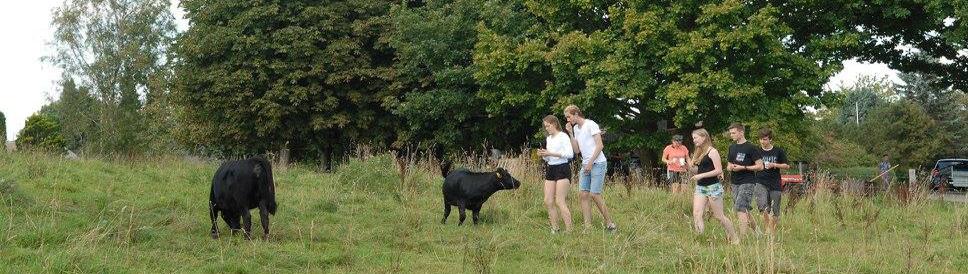 Køerne er meget nysgerrige..